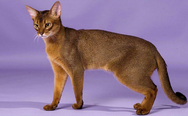 Окрасы абиссинских кошек - главное фото