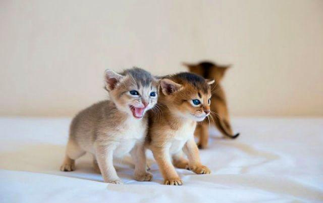 Окрасы абиссинских кошек - котята