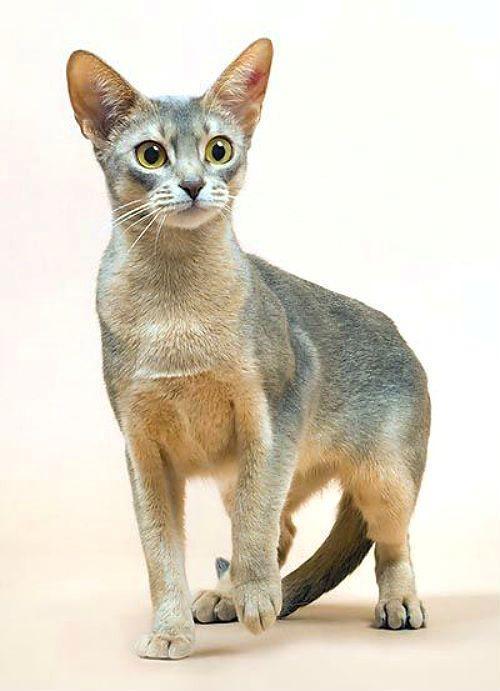 Окрасы абиссинских кошек - голубой