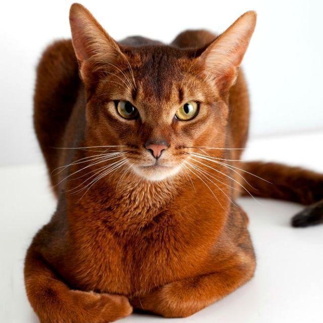 Окрасы абиссинских кошек - соррель