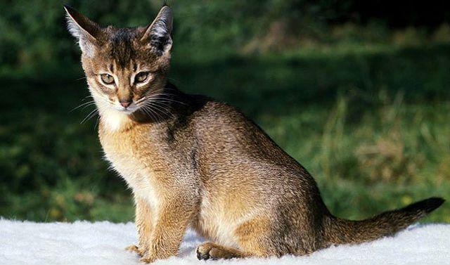Окрасы абиссинских кошек - дикий