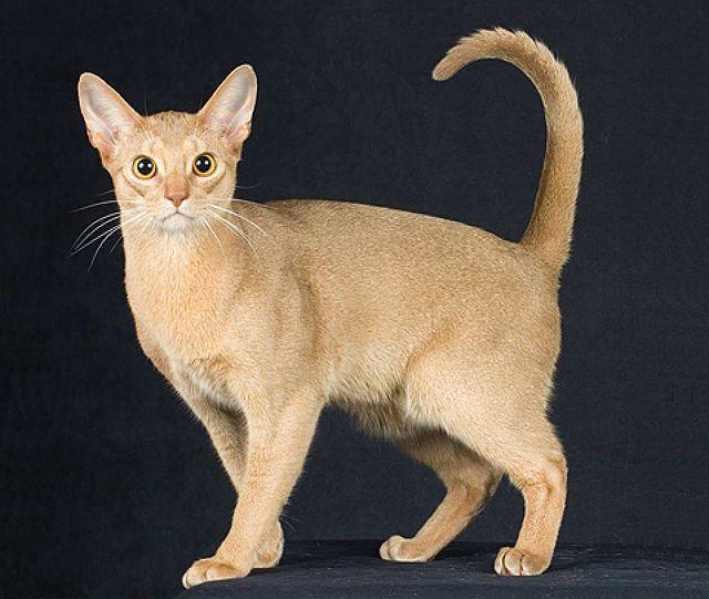 Окрасы абиссинских кошек - фавн