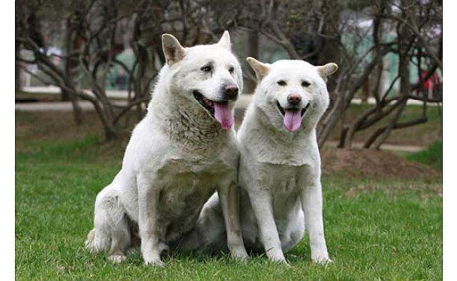 Пхунсан - редкая порода собак