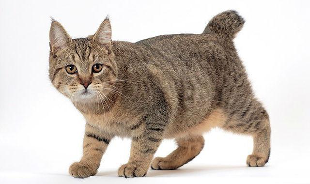 Полосатый кот породы Пикси-боб