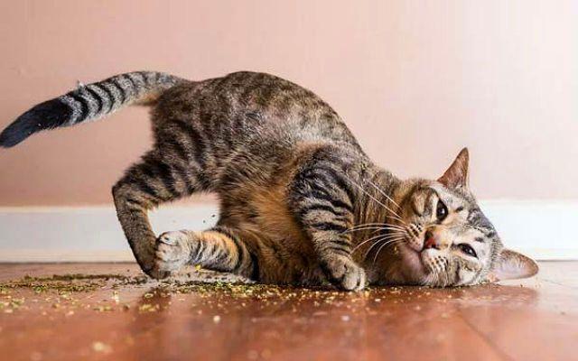 Почему кошки любят валерьянку - фото