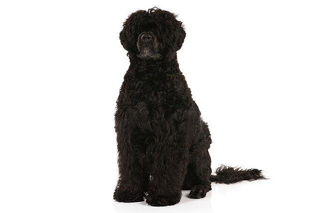 Португальская водяная собака - редкая порода