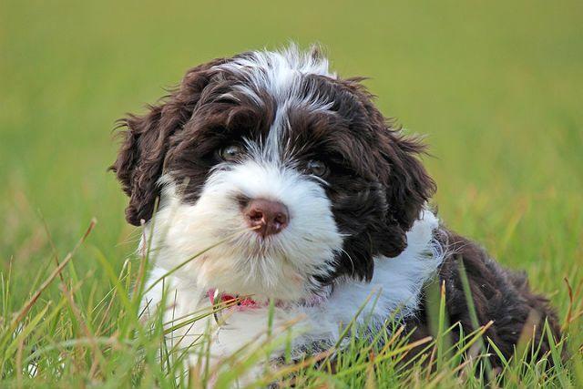 Редкая порода собак - Португальская водяная собака