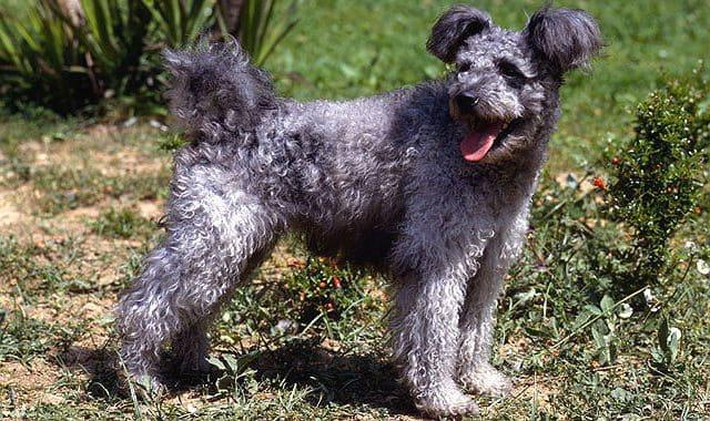 Редкая порода собак Пуми