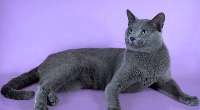 Русская голубая кошка - главное фото