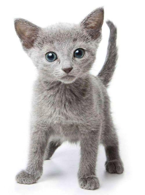 Русская голубая кошка - выбор котенка