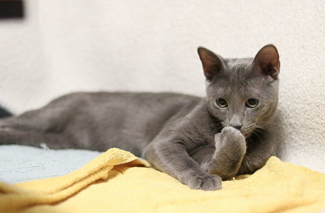Русская голубая кошка моет лапку