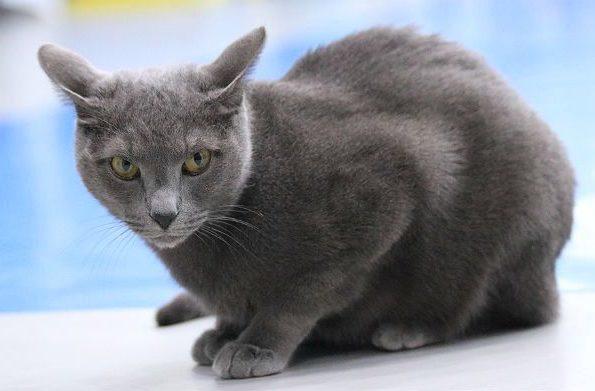 Русская голубая кошка навострила уши