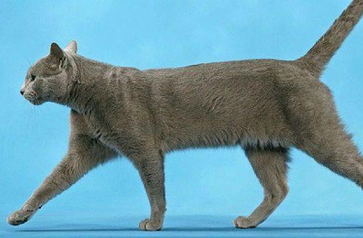 Русская голубая кошка - вид сбоку
