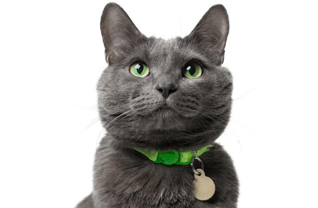 Русская голубая кошка с ошейником