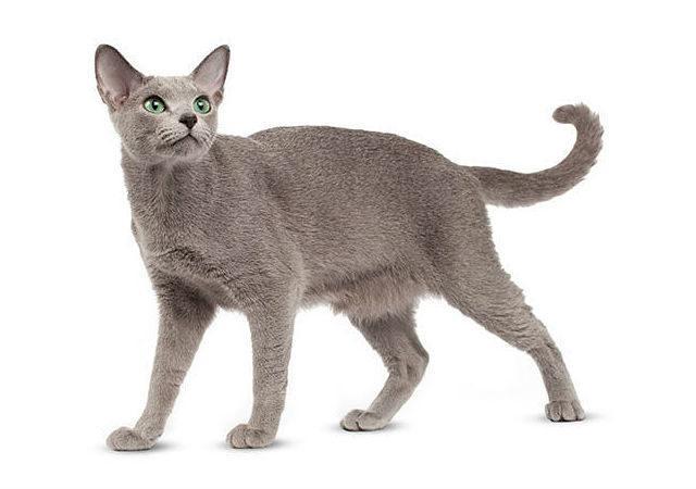 Русская голубая кошка в полный рост