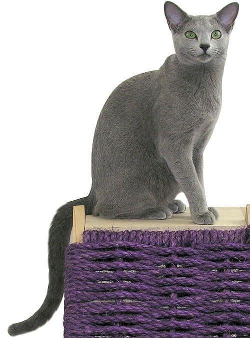 Русская голубая кошка - внешний вид