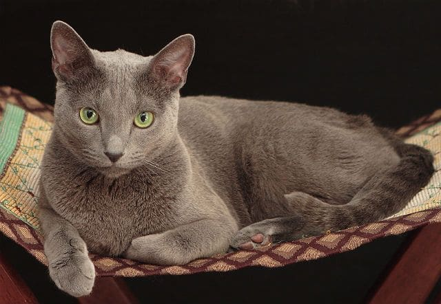 Русская голубая кошка - окрас и тип шерсти