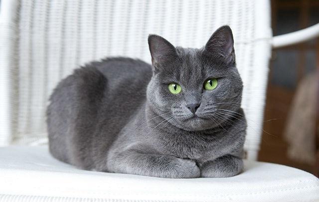 Русская голубая кошка - вид лежа спереди