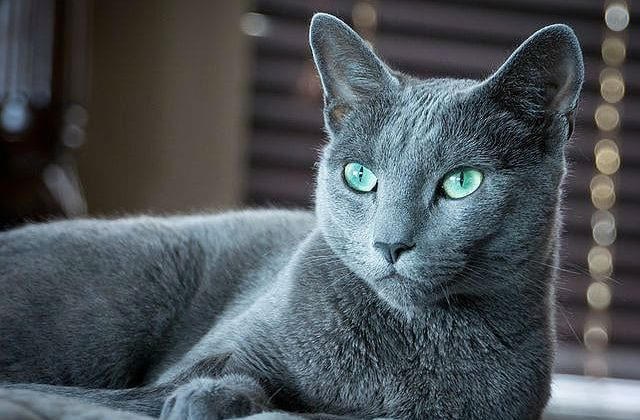 Кошка - русская голубая