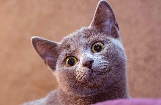 Русская голубая кошка - мордочка