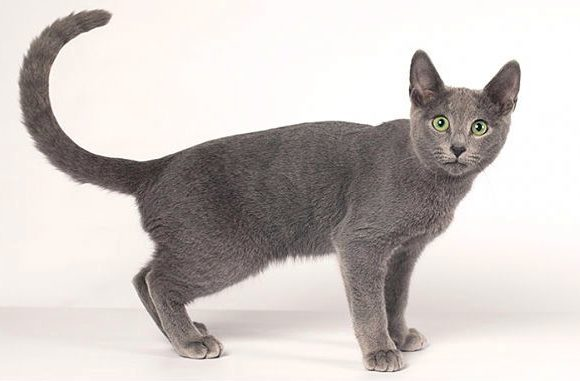 Русская голубая кошка с поднятым хвостом