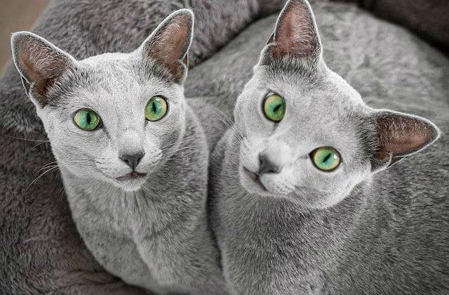 Две кошки породы русская голубая
