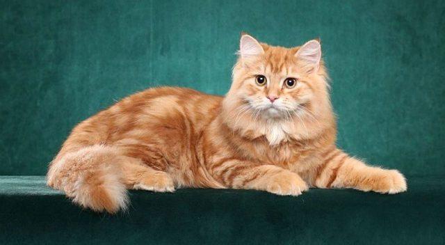 Рыжие породы кошек - главное фото