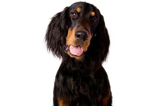 Порода собаки Шотландский сеттер гордон