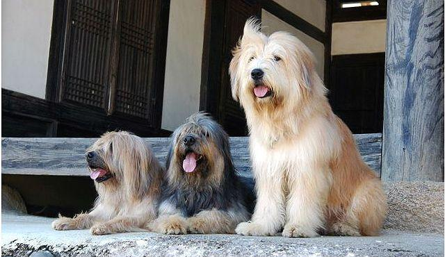 Редка порода собак Сапсари