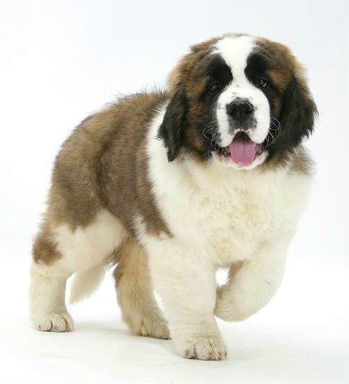Сенбернар - выбор щенка