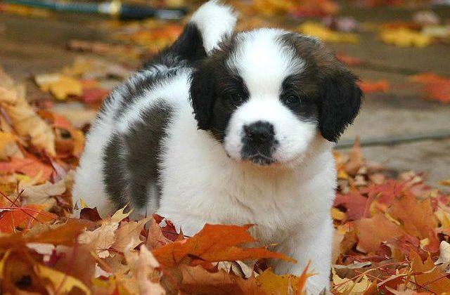 Сенбернар - щенок