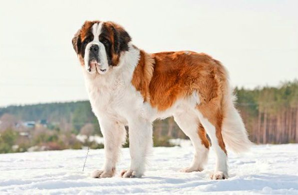 Сенбернар стоит на снегу