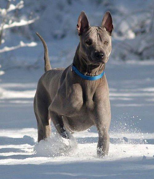 Редкая порода собак Синий тайский риджбек