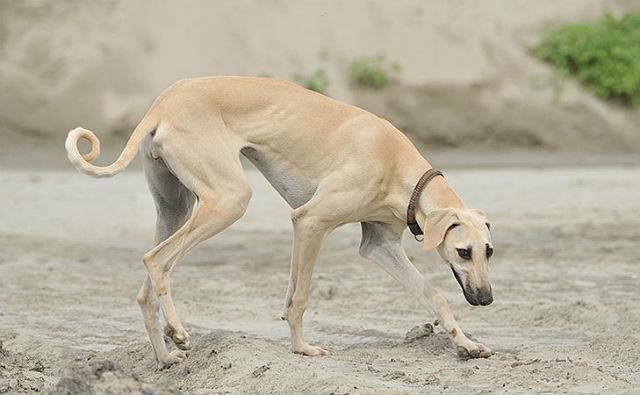 Самые необычные собаки - порода слюги