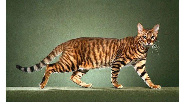 Тигровая полосатая кошка Тойгер