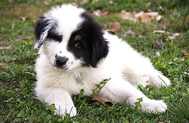 Самая редкая порода собак - Торньяк