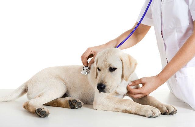 Вакцинация лабрадора - на приеме у ветеринара