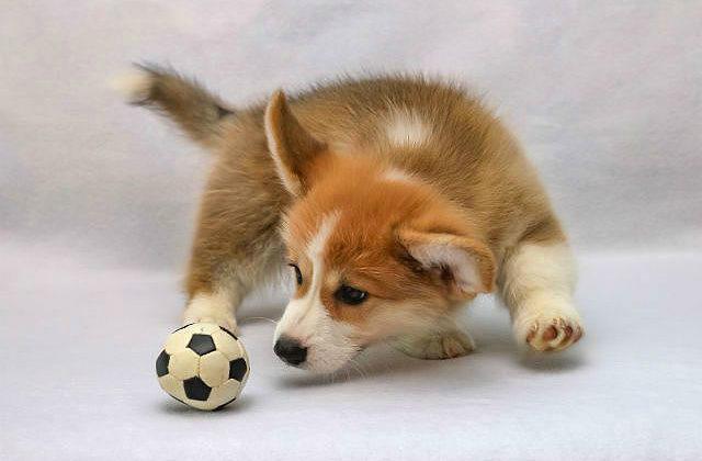Вельш-корги - щенок с мячиком