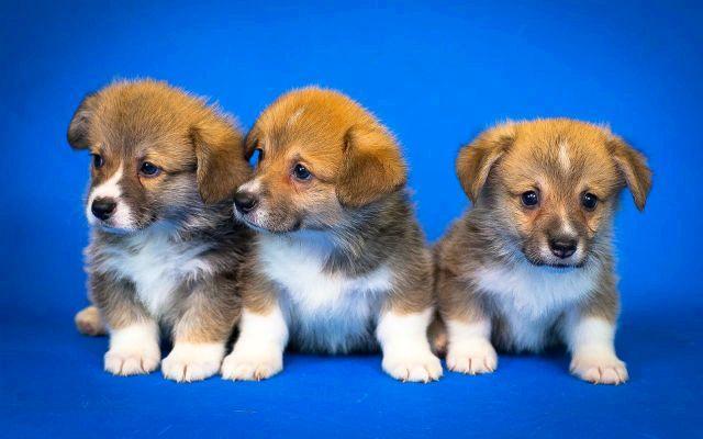 Вельш-корги - выбор щенка