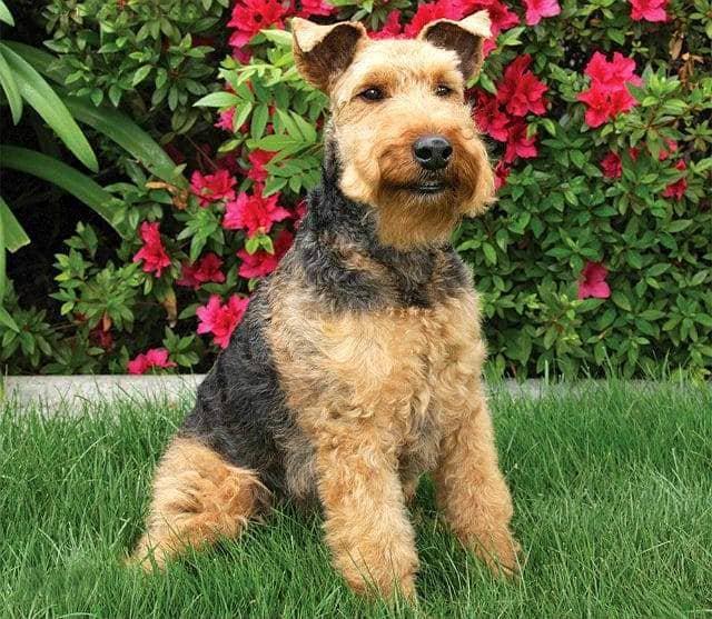 Собака породы Вельш-терьер