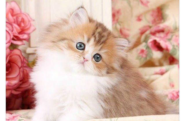 Золотая шиншилла - милый котенок