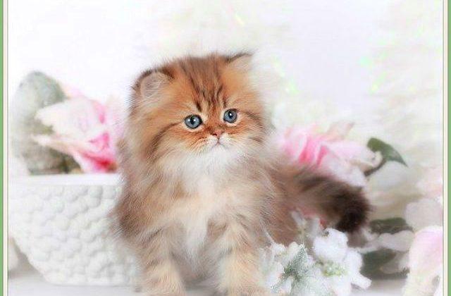 Пушистый котенок Золотая шиншилла