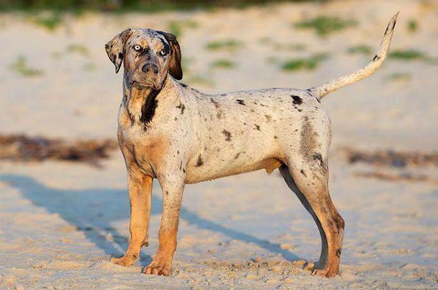 Леопардовая собака Катахулы - редкая порода собак