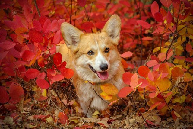 Мини-корги – карликовая порода собак