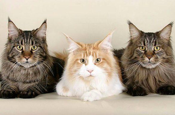 Полосатые кошки породы Мейн-кун