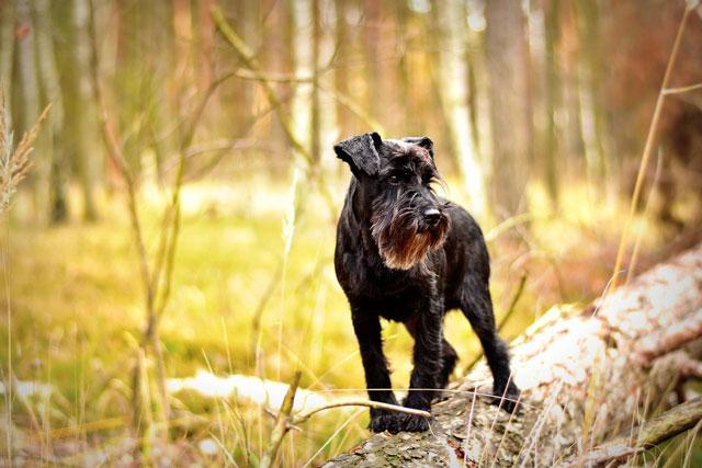 Стриженный цвергшнауцер в лесу