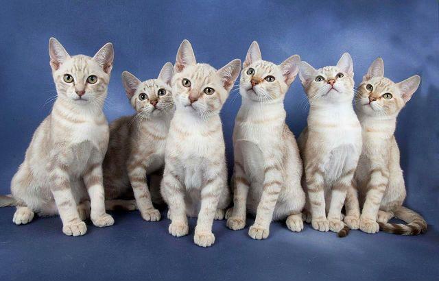 Австралийский мист - котята