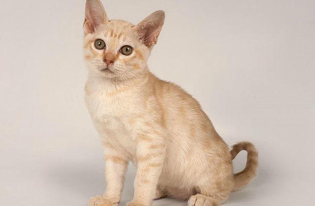 Котенок породы Австралийский мист