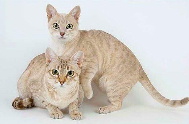 Две кошки породы Австралийский мист