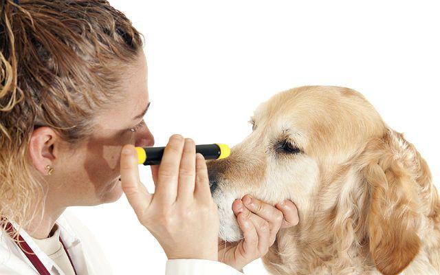 Болезни лабрадоров - осмотр глаз ветеринаром